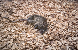 Dead mice on sawdust Stock Images