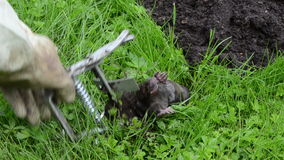 Dead mole animal trap stock video