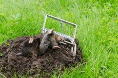 Dead mole caught steel trap lie near mole hill Stock Photography