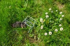 Dead mole in the grip traps in the meadow. Dead mole in the grip traps between the flowers in the meadow Stock Photo