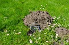 Dead mole in traps meadow to the powdery sunk cave Royalty Free Stock Photos
