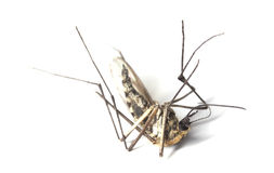 Dead mosquito Stock Photography