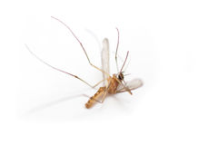 Dead mosquito Stock Images