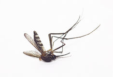 Dead mosquito Stock Image