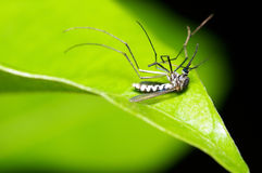 Dead mosquito. A dead body of mosquito, culex Royalty Free Stock Images