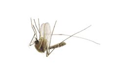 Dead mosquito Royalty Free Stock Images