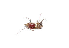 dead mosquito Royalty Free Stock Photo