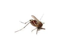 dead mosquito Stock Image
