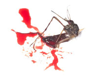 Dead mosquito filled with human blood. Stock Photo