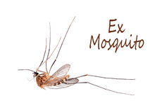 Dead mosquito fly - legs in the air. Culicidae Royalty Free Stock Photos