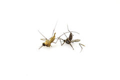 Dead mosquito lie-down Stock Photos