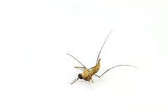 Dead mosquito lie-down Royalty Free Stock Photography