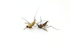 Dead mosquito lie-down Royalty Free Stock Image