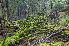 Dead mossy tree lying down Royalty Free Stock Photo
