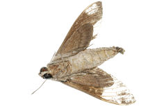 Dead moth Royalty Free Stock Photography