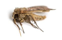 Dead moth, isolated Royalty Free Stock Photography