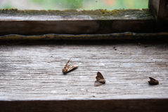 Dead moths. Royalty Free Stock Photo