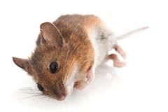 Dead mouse Royalty Free Stock Image