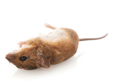 Dead mouse Stock Photo