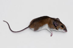Dead mouse. Isolated on white Stock Images