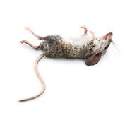 Dead Mouse with Feet to the Sky Stock Photos