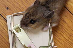 Dead Mouse Head In Trap Royalty Free Stock Photography