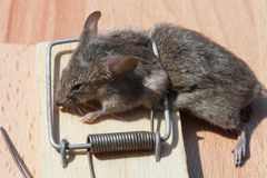 Dead mouse in a mousetrap Stock Photo