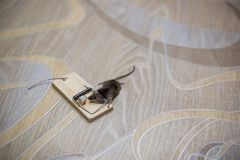 Dead mouse in a mousetrap on the floor. Dead mouse in a mousetrap on the floor Stock Images