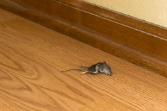 Dead Mouse Rodent in House or Home, Vermin. Eek! A mouse! The dead rodent is inside a house or home and is just downright disgusting Stock Photography