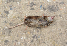 Dead mouse Stock Photography