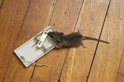 Dead Mouse In Trap Stock Photos