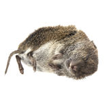 Dead mouse on white Stock Image