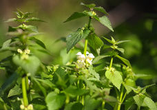 Dead nettle. On bright green background from plants royalty free stock image