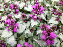 Dead nettle flowers Royalty Free Stock Photography