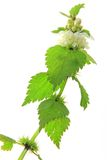 Dead Nettle (Lamium album) Royalty Free Stock Image