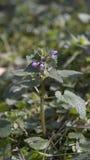 Dead nettle - Lamium purpureum royalty free stock photography