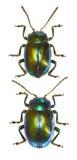 Dead-nettle Leaf Beetle. Chrysolina fastuosa (Scopoli, 1763 Royalty Free Stock Photos