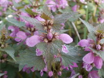 Dead nettle Royalty Free Stock Image
