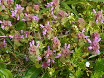 The dead nettle is native to Europe and Asia Royalty Free Stock Images