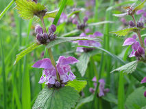 Dead-nettle purple Royalty Free Stock Images