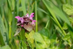 dead nettle stands on a green meadow in the morning dew royalty free stock photos