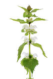Dead-nettle wildflower plant over white background Stock Image