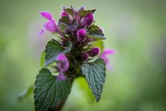 Dead-nettles flower with soft background - Close up royalty free stock photo
