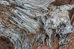 Dead njuniper tree Stock Image