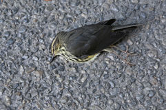 Dead Northern Waterthrush Royalty Free Stock Photo