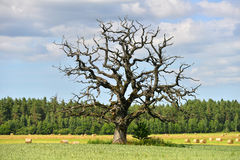 Dead oak Royalty Free Stock Photography