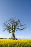 Dead oak in canola field Stock Photo
