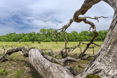 Dead oak and feral horses Royalty Free Stock Photography