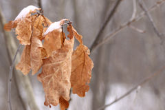Dead oak leaves. Covered with snow still hanging on the tree with copy space Stock Photos