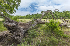 Dead oak on Letea marine levee Royalty Free Stock Photos